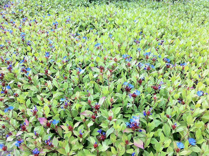 bleiwurz pflanze ceratostigma plumbaginoides staude blau. Black Bedroom Furniture Sets. Home Design Ideas
