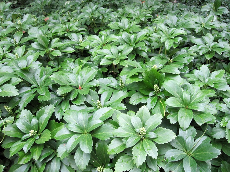 pachysandra terminalis pictures to pin on pinterest pinsdaddy. Black Bedroom Furniture Sets. Home Design Ideas