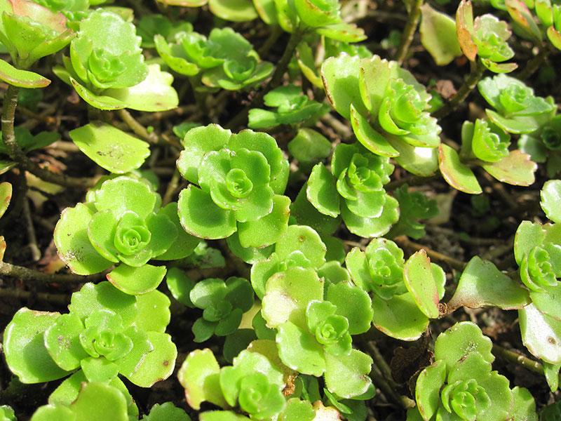 TeppichFetthenne Pflanze Sedum spurium TeppichSedum