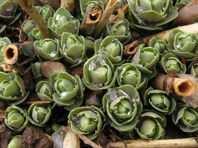 K Chen Staude fette henne pflanze fette henne soest 01594050 fetthenne staude sedum telephium pflanze fette