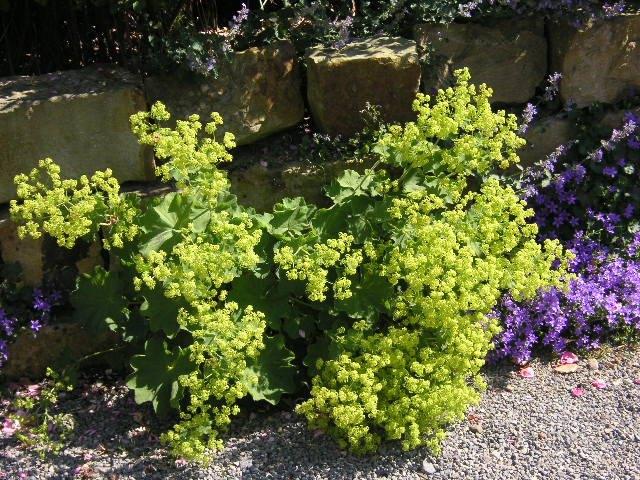 frauenmantel staude alchemilla mollis pflanze weicher. Black Bedroom Furniture Sets. Home Design Ideas
