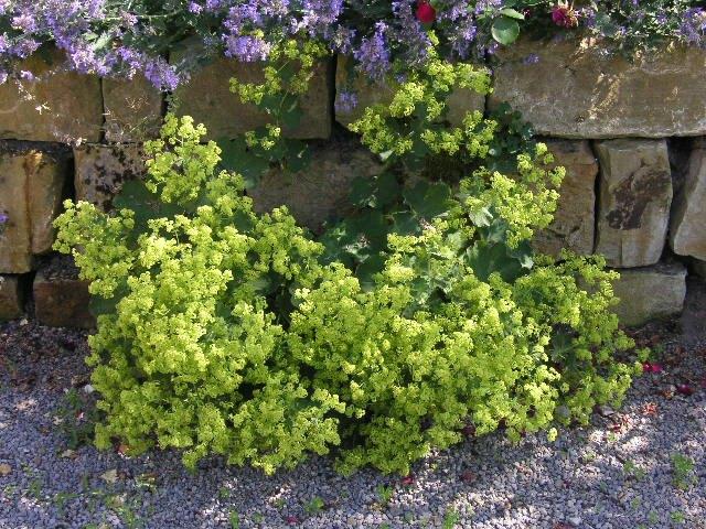 frauenmantel staude alchemilla mollis pflanze weicher frauenmantel pflege schnitt standort. Black Bedroom Furniture Sets. Home Design Ideas