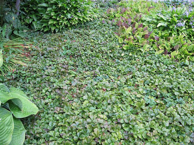 TeppichGolderdbeere Pflanze Waldsteinia ternata Staude