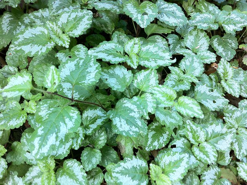 goldnessel pflanze lamium galeobdolon staude echte