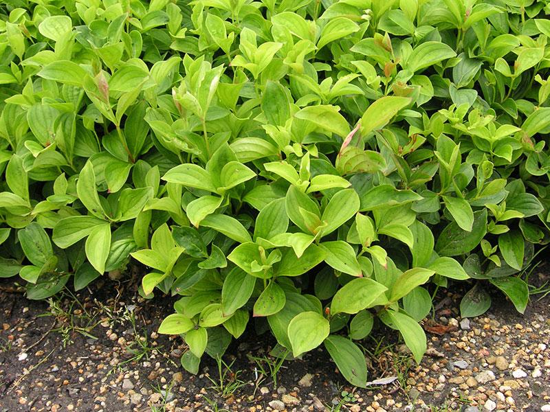 TeppichHartriegel Pflanze Cornus canadensis Staude Kissen