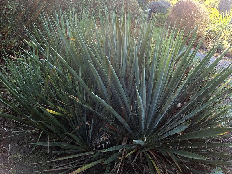 Palmlilie Yucca Filamentosa Pflanze F 228 Dige Palmlilie