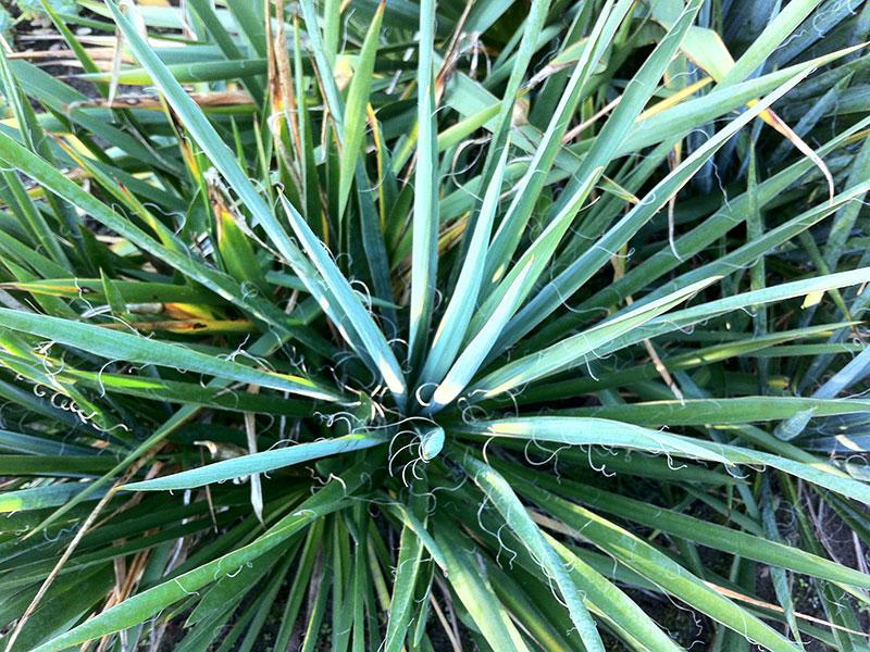 palmlilie yucca filamentosa pflanze f dige palmlilie winterhart palmlilie berwintern palmlilie. Black Bedroom Furniture Sets. Home Design Ideas