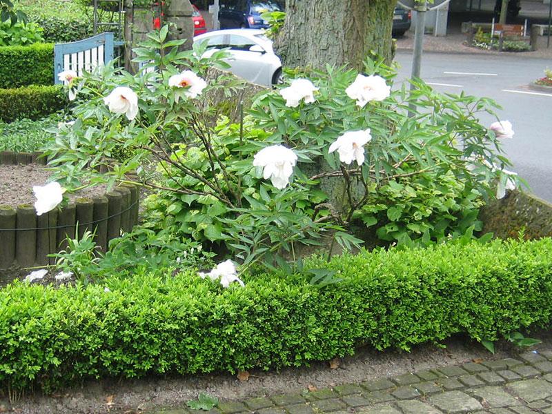 strauch pfingstrose pflanze paeonia suffruticosa. Black Bedroom Furniture Sets. Home Design Ideas
