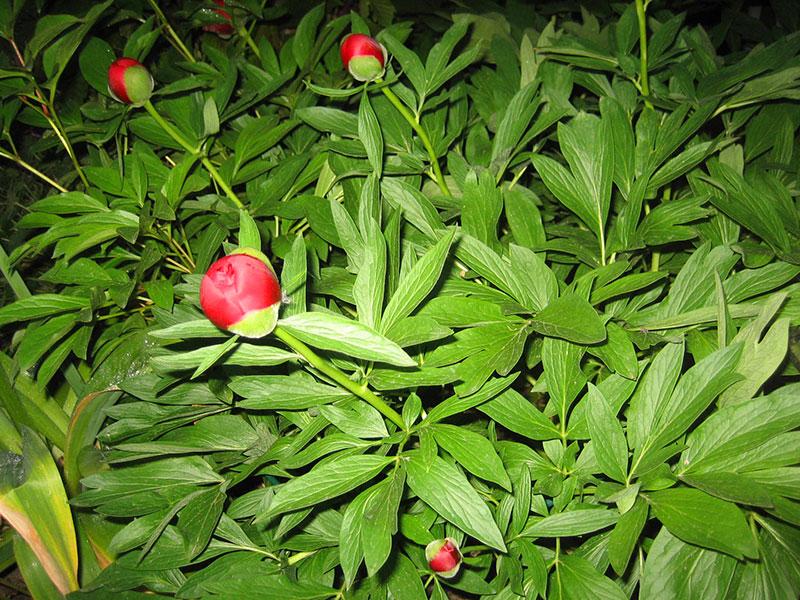 Pfingstrose pflanze paeonia officinalis staude bauern for Paeonia officinalis