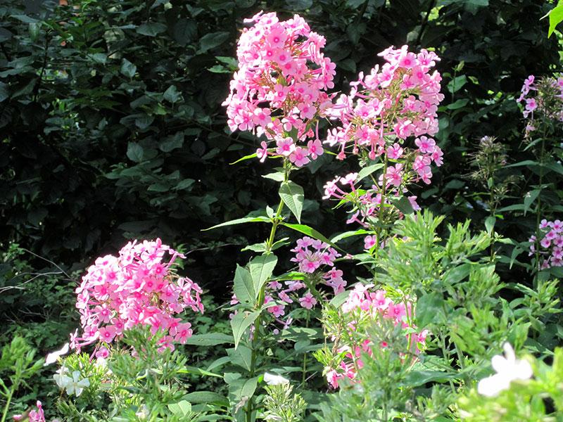 Garten Phlox Staude Phlox Paniculata Garten Phlox Schnitt