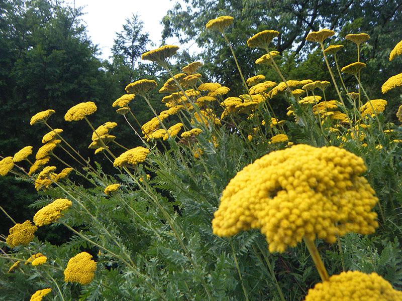 gelbe schafgarbe goldgarbe achillea filipendulina pflanze staude gold garbe pflege hohe. Black Bedroom Furniture Sets. Home Design Ideas
