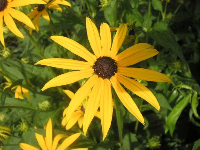 86f88a87efb44 Gelber Sonnenhut Staude Rudbeckia fulgida var. sullivantii Goldsturm  Pflanze Leuchtender Sonnenhut Blume Rudbeckie Pflege Schnitt