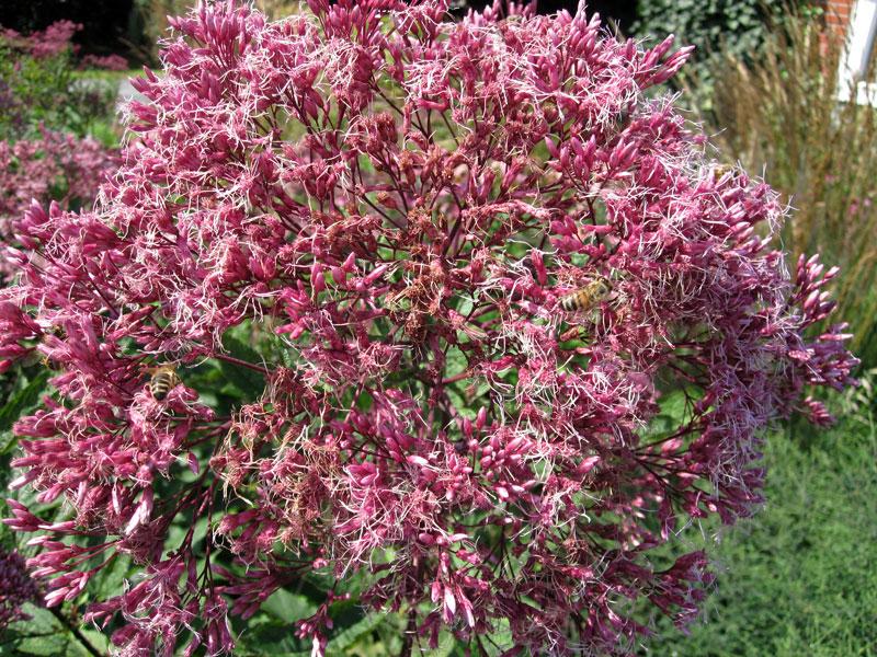 wasserdost pflanze eupatorium purpureum purpur wasserdost. Black Bedroom Furniture Sets. Home Design Ideas