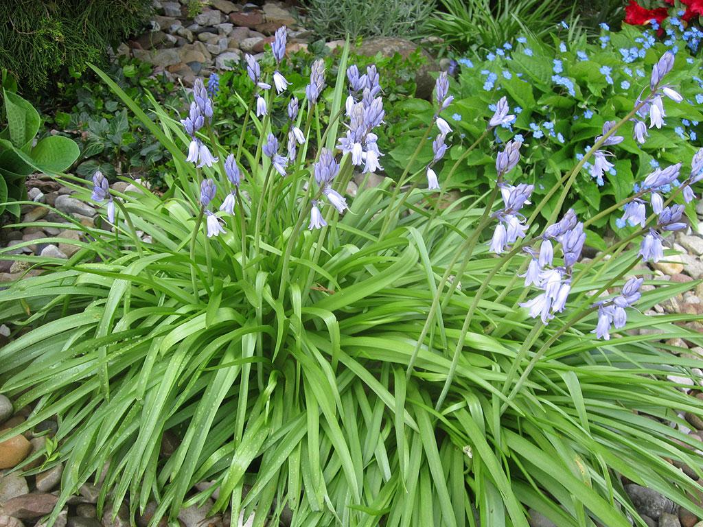 hasengl ckchen blumenzwiebel hyacinthoides non scripta atlantisches hasengl ckchen bl tezeit. Black Bedroom Furniture Sets. Home Design Ideas