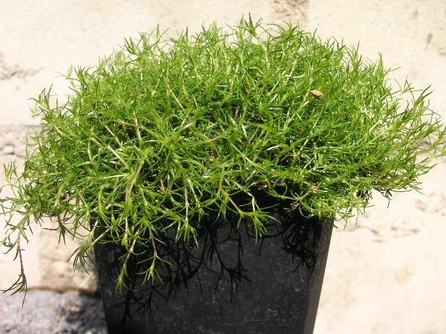 Sternmoos sagina subulata pflanze vermehrung pflege for Moos bilder pflanzen