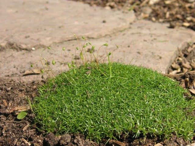 sternmoos sagina subulata pflanze vermehrung pflege schnitt bl tezeit bl te standort. Black Bedroom Furniture Sets. Home Design Ideas
