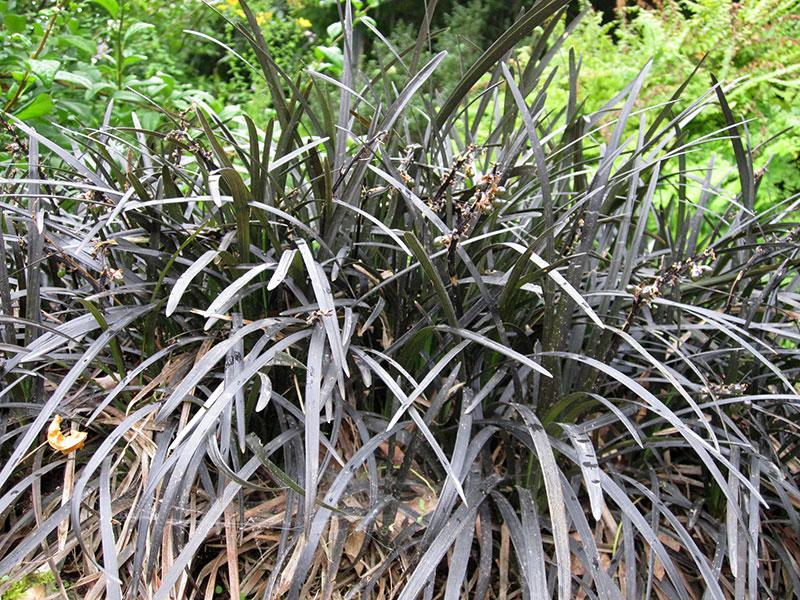 schwarzer schlangenbart gras ophiopogon planiscapus niger. Black Bedroom Furniture Sets. Home Design Ideas