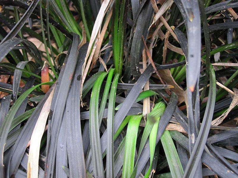 Schlangenbart schwarzer schlangenbart
