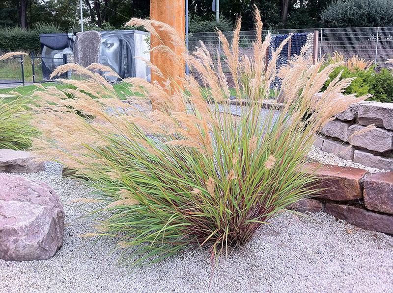 silber hrengras achnatherum calamagrostis ziergras f hngras stipa calamagrostis r nkegras. Black Bedroom Furniture Sets. Home Design Ideas